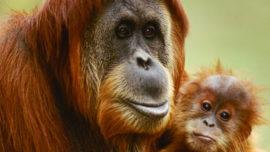 orangs-outans.jpg