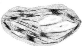 chloroplaste.jpg