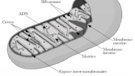 schema-mitochondrie.png