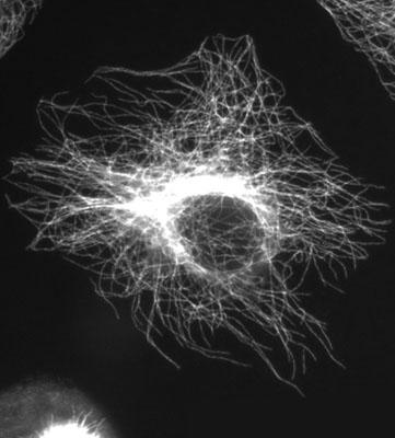 cytosquelette.jpg