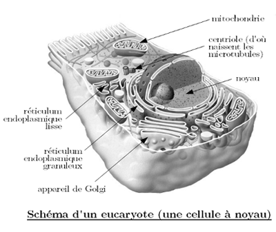 schema-eucaryote.png