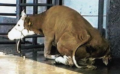 Octobre 1997, crise de la vache folle